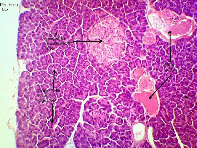 Pancreas 100x